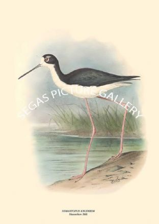 HIMANTOPUS KNUDSENI - Hawaiian Stilt